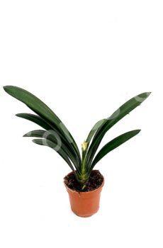 Clivia-miniata-c15-capote