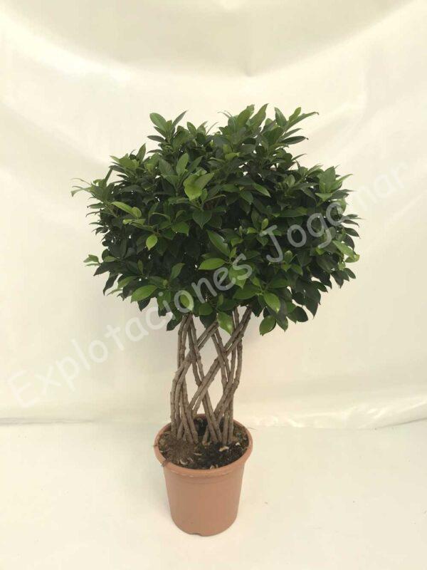 Ficus Nitida-petate-c25