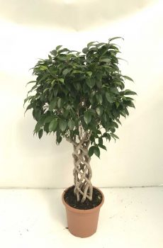 Ficus-Benjamina-columna-c25