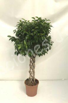 Ficus-Benjamina-columna-c30