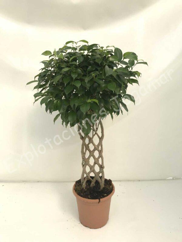 Ficus-Benjamina-petate-c25