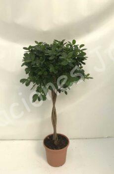 Ficus-Moclame-c30