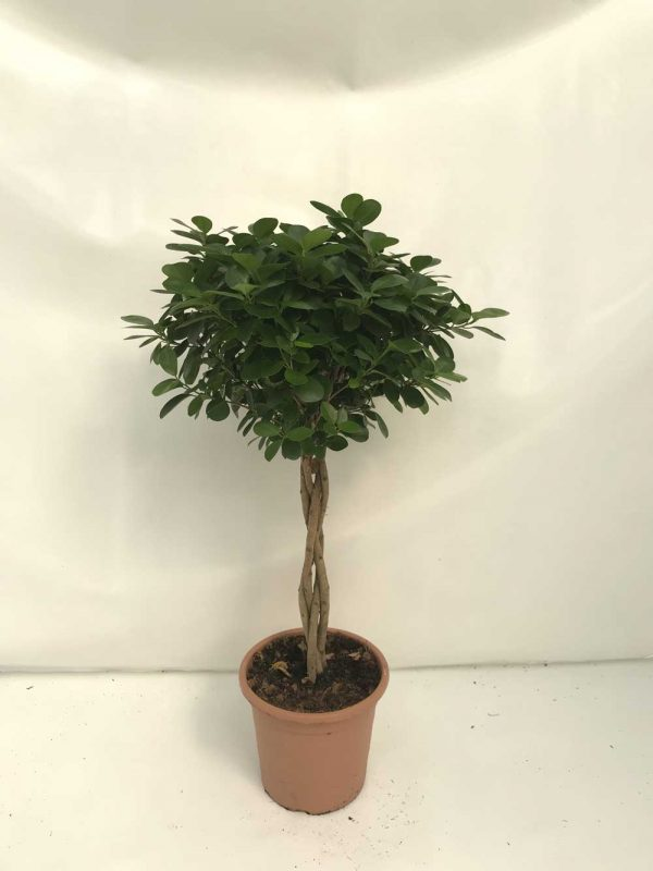 Ficus-Moclame-trenza-c25