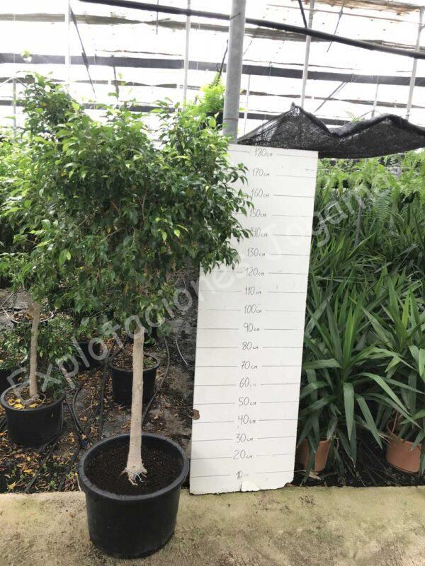 Ficus-Natasja-c40