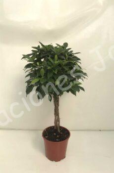 Ficus-Nitida-Trenza-c20