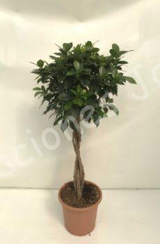 Ficus-Nitida-Trenza-c25