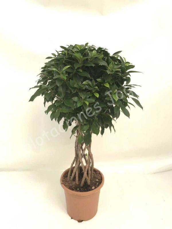 Ficus-Nitida-columna-c25