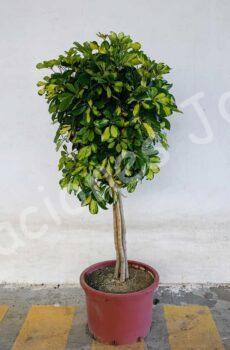 Schefflera-copa-c50