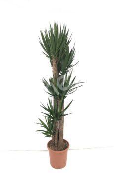 Yucca-elegans-150-120-90-60-30