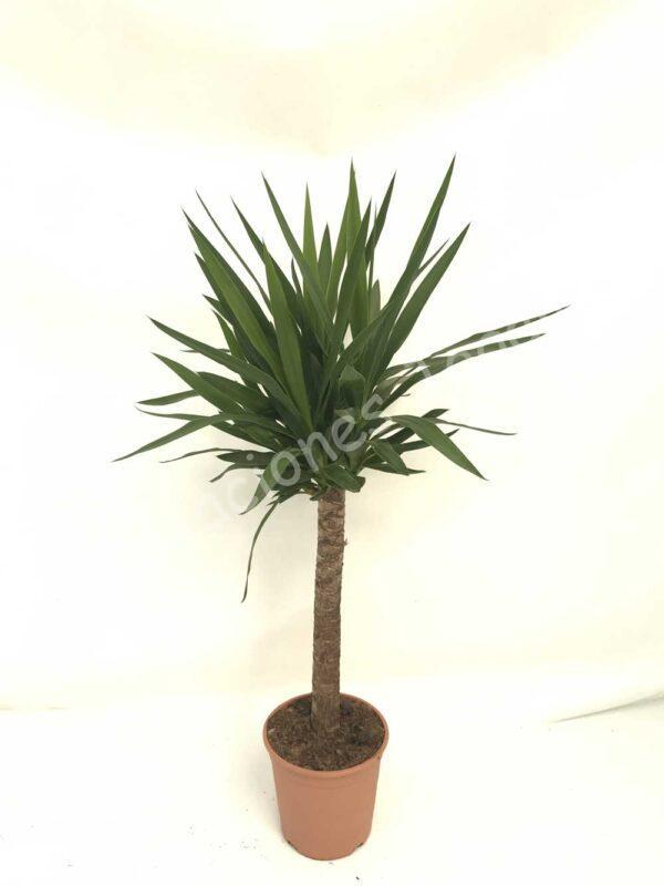 Yucca-elegans-60cm-c22