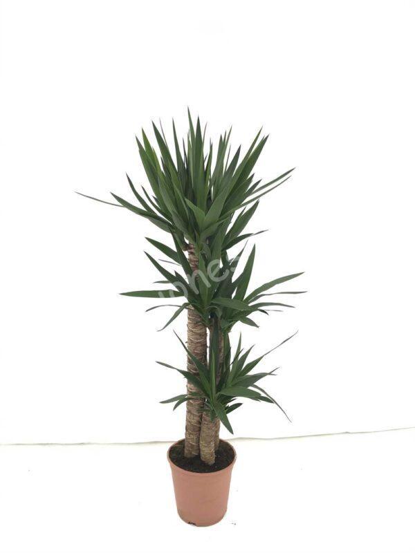 Yucca-elegans-c22-90-60-30
