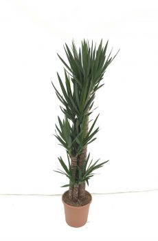 Yucca-elegans-c30-120-90-60-30