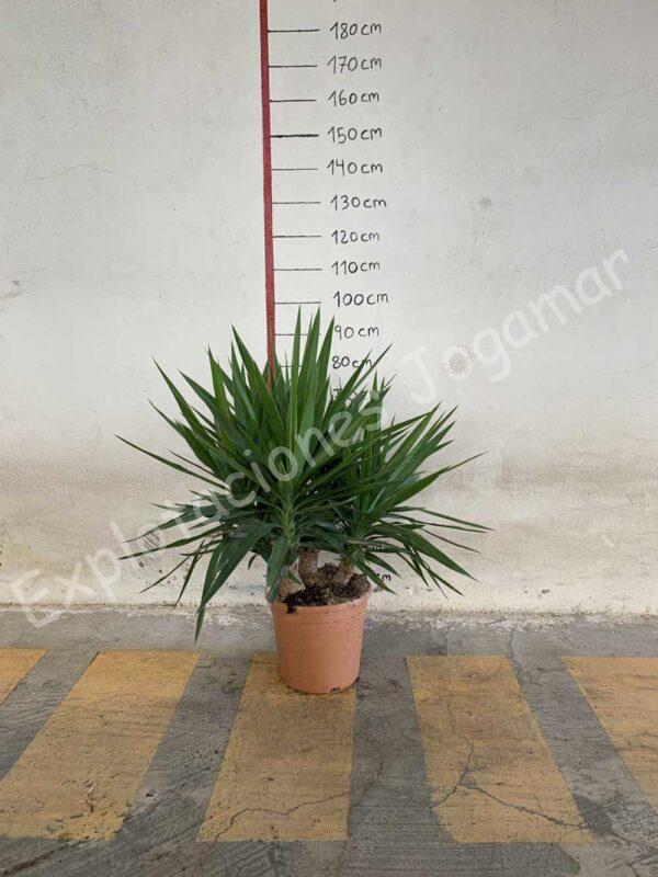 Yucca-ramificada-C30