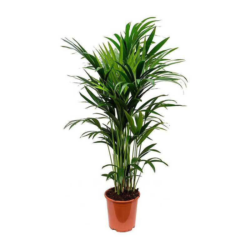 kentias-plantas