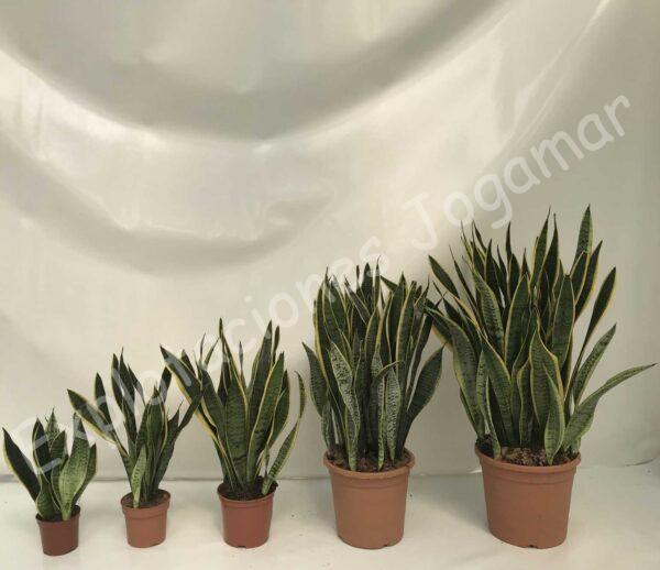 Sansevierias plantas exóticas