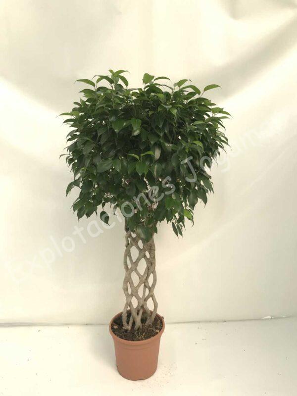 Ficus Benjamina-petate-c30