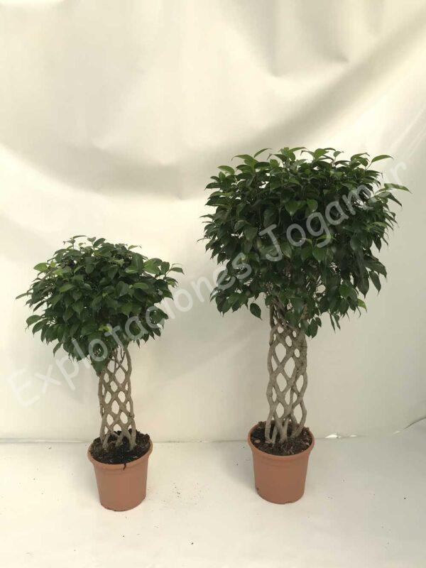 Ficus-Benjamina-petate