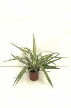 Yucca-Jewel-c17