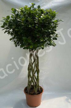 Ficus-columna-c35