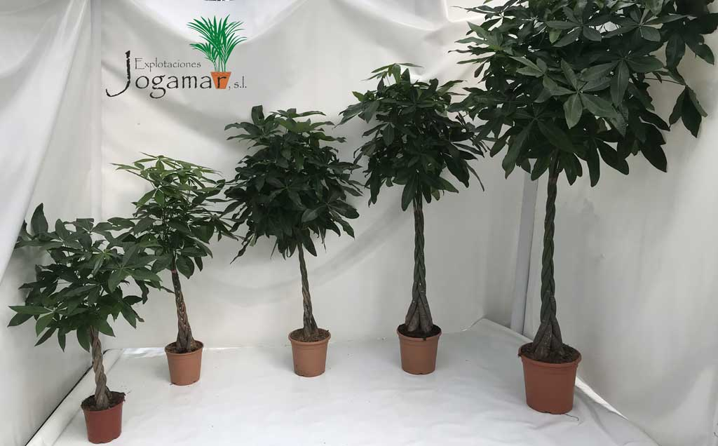 Pachiras_plantas_originales_para_regalar