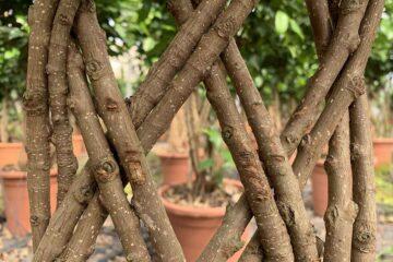 Plantas-ornamentales-leñosas