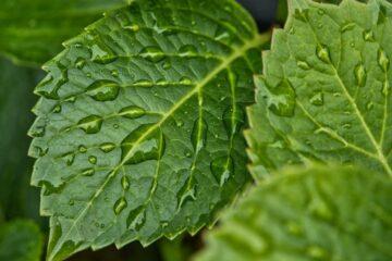 plantas-de-hojas-grandes