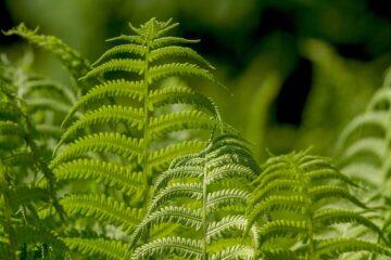 plantas ornamentales sin flores