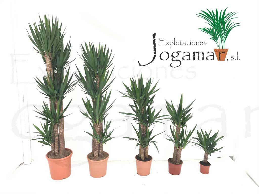 yuccas-plantas-ornamentales-leñosas