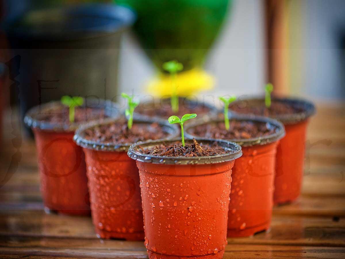 plantas-ornamentales-herbáceas
