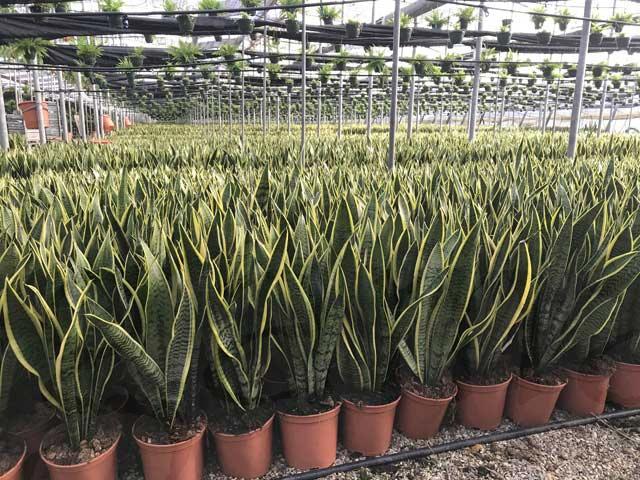 plantas-ornamentales-listas-para-la-venta