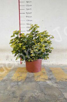 Scheffleras arbustiva c50